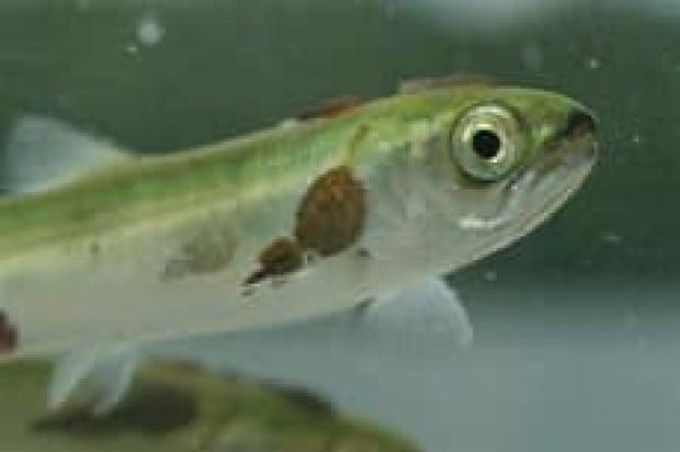 salmon-krkosek-071213