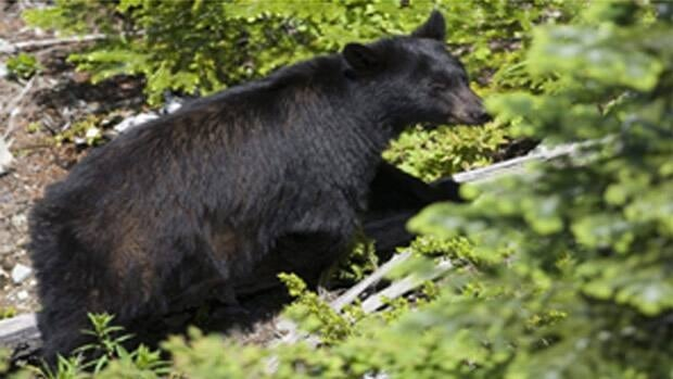 RCMP say about 20 black bears have been seen within Fort McMurray city limits since the spring.