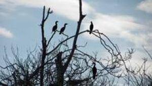 si-cormorants-220-cp