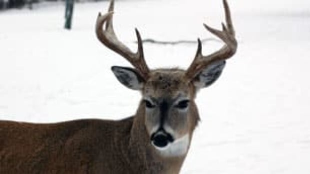A white-tail deer is pictured at the Saskatoon Forestry Farm Park and Zoo in 2011. The farm was one of the cases in Saskatchewan where deer was found to have chronic wasting disease.