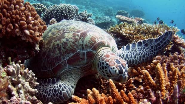 A green turtle lies on a bed of corals off Malaysia's Sipadan island in the Celebes Sea. A single bleaching event in 1998 killed one-sixth of the world's tropical coral reefs.