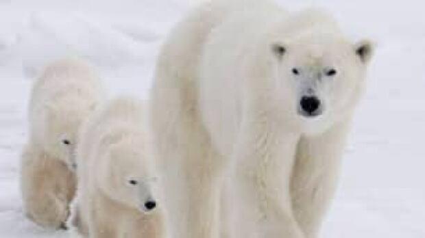polar-bears-tp