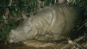 sm-220-javan-rhino-01500353