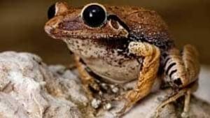 tp-macaya-burrowing-frog-rmoore