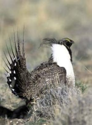 cgy-sage-grouse-cp-1325180