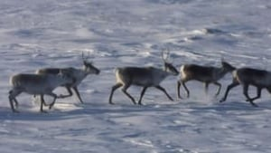 tp-caribou-herd-hunt