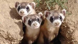 mi-black-footed-ferret09062