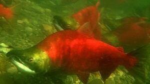 tp-110113-sockeye-salmon2-kmiller-dfo