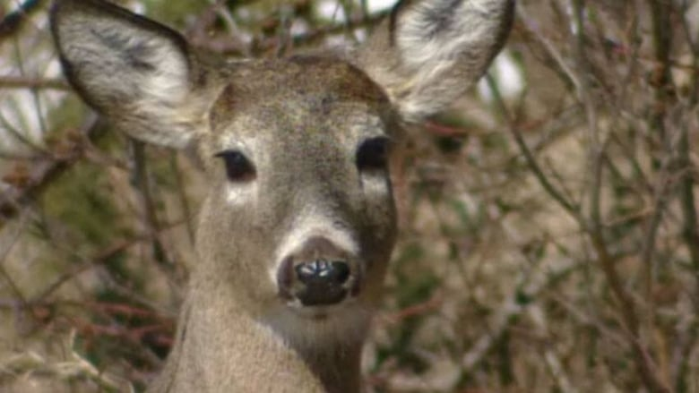 What Can I Feed Deer In My Backyard don't feed deer or let dogs run after them, mnr warns | cbc news