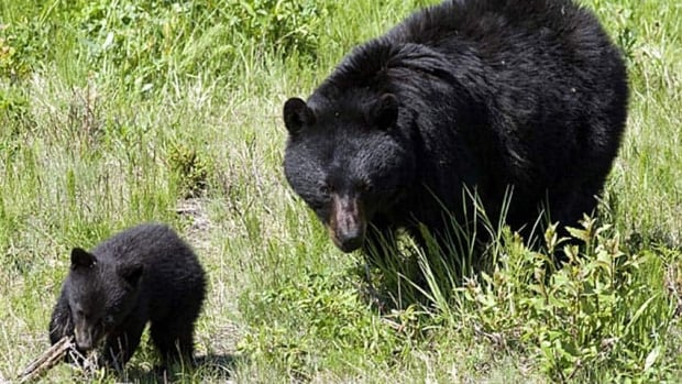 Radio Canada Cote Nord >> Nova Scotia spring bear hunt could reduce nuisance bears ...