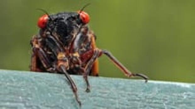 in-cicada-220-cp-00655554-1