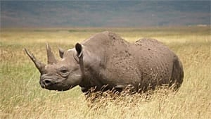 sm-300-eastern-black-rhino-richard-elmslie-iucn