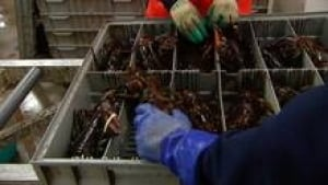 lobster-packing_852x479_1-3col
