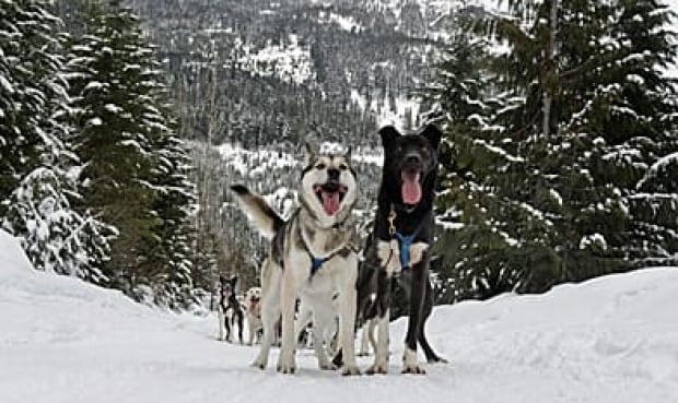 sled-dogs-392-00093527