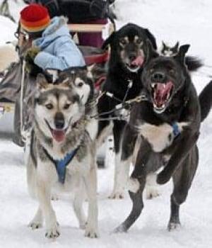 si-bc-sled-dog-cp-00459186
