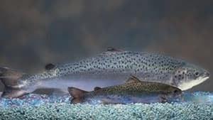 pe-si-aquabounty-salmon-300
