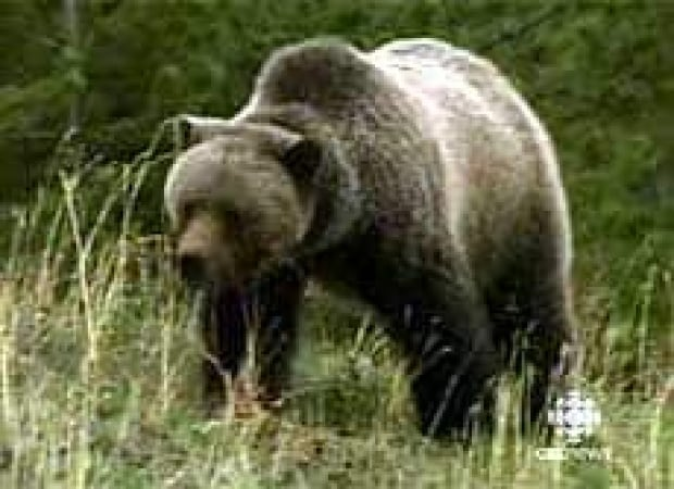 cgy-grizzly-alberta