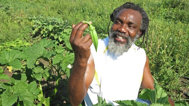 Desmond Bailey takes a close look at okra growing on the Afri-Can FoodBasket plot at the McVean startup farm in Brampton, northwest of Toronto.