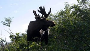 hi-gros-morne-moose-rieti