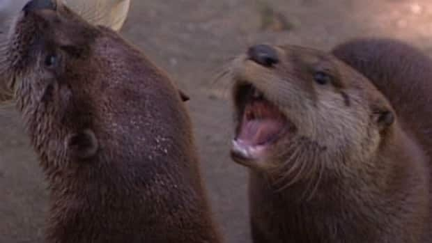 A river otter has died at the Edmonton Valley Zoo, leaving three orphan pups who are healthy, active and expected to survive.