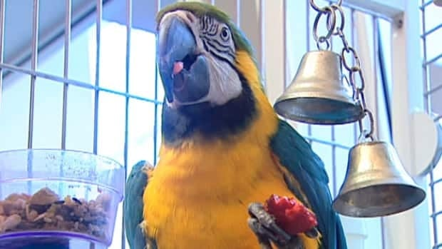 Monty the macaw eats a strawberry Thursday at the Edmonton Humane Society.