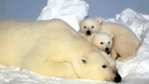 tp-north-beaufort-sea-polar-bears-8947457