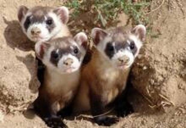 220-ferrets-mike-lockhart
