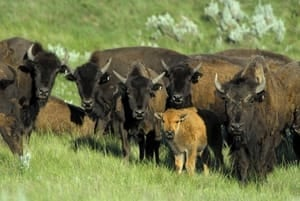 bison_herd_with_calf_james_page