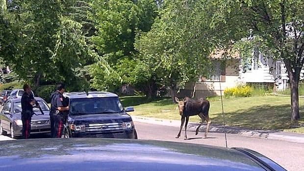 Police and Fish and Wildlife Ministry officers had their hands full Sunday when this moose and a sibling decided to explore Calgary's Pineridge neighbourhood.