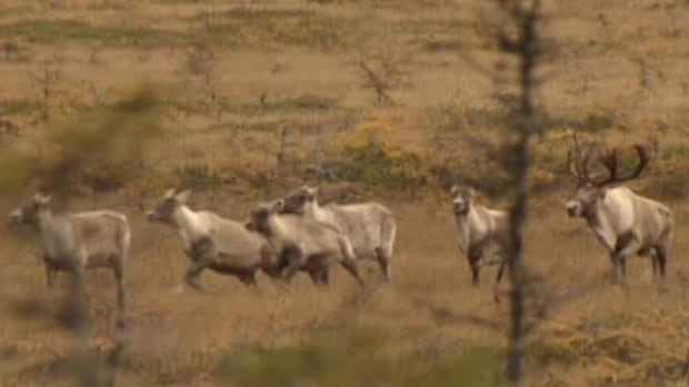 The George River caribou herd could be wiped out within five years if its current rate of decline continues, says the provincial government.