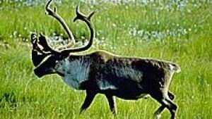 si-nl-woodland-caribou-220-9345720