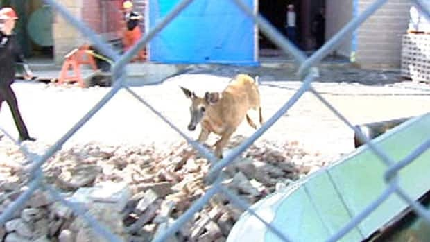 After crashing into a coffee shop, the deer ran to a construction site on the Saint Mary's University campus.