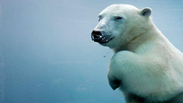The polar bear's new status is one level below threatened and two levels below endangered under the Species at Risk Act.