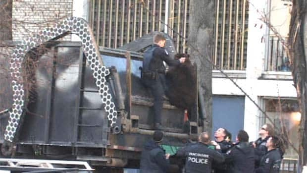 A conservation officer grabs the neck of a black bear after it was tranquillized Monday in downtown Vancouver.
