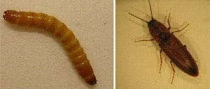 pe-mi-wireworm-300