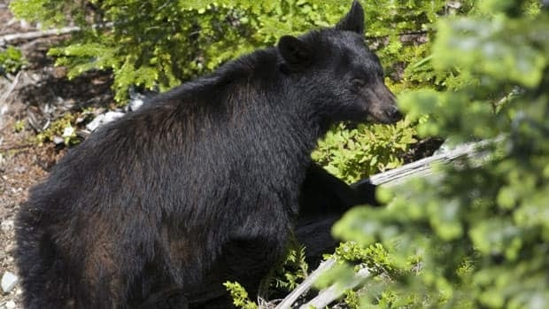When hiking or camping in bear country, people should never cook near their tent or bring food where they sleep, says B.C. biologist Mike Badry.