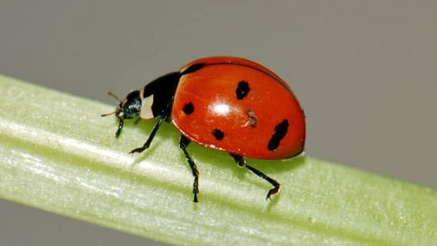 Sightings of the nine-spotted ladybug, once common in North America, are rare. It's unclear exactly what's led to their decline.