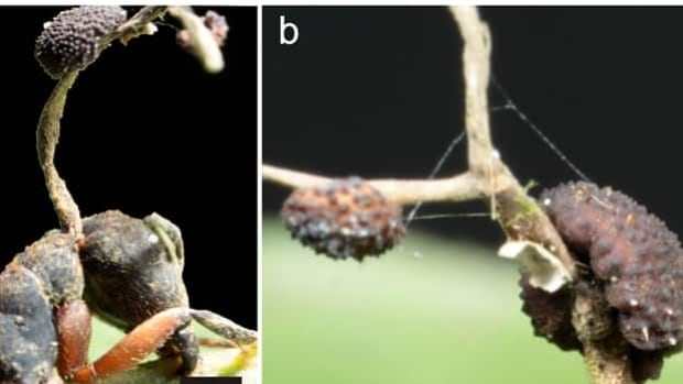 On the left, the stalk of a newly discovered fungus grows out of the neck of a dead ant in the Brazilian rainforest. On the right, a closeup of the fungus.