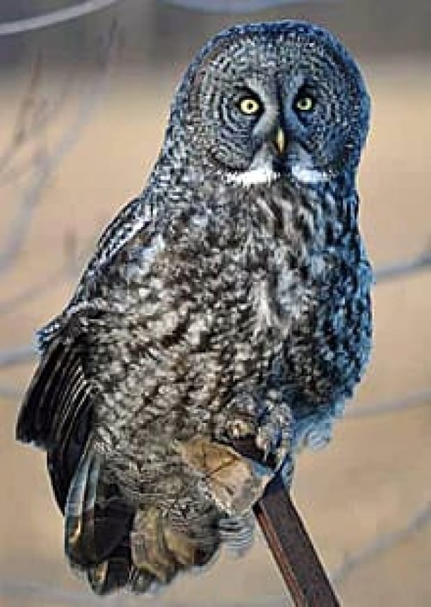 wdr-220-great-grey-owl