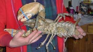 pe-mi-giant-blue-lobster-30