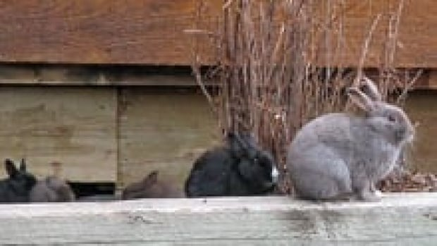 si-cgy-canmore-bunnies-