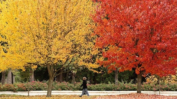 A pedestrian passes brightly coloured fall foliage in Delta, B.C., in late October, 2008. Scientists believe fall colours may be coming later in the year due to climate change.