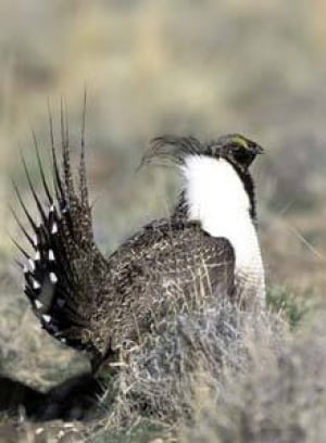 sage-grouse-cp-1325180