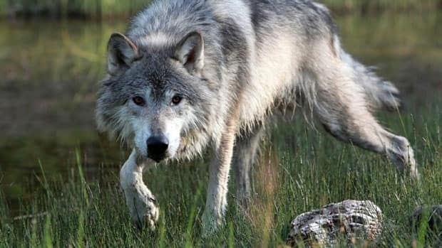 Wolf sightings are on the rise in urban areas across the northwest.