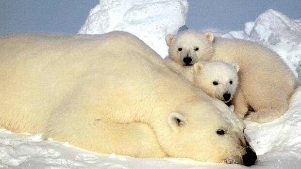 This undated file photo released by the U.S. Fish and Wildlife Service shows a sow polar bear resting with her cubs on the pack ice in the Beaufort Sea in northern Alaska.