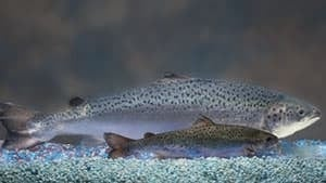 pe-mi-aquabounty-salmon-300
