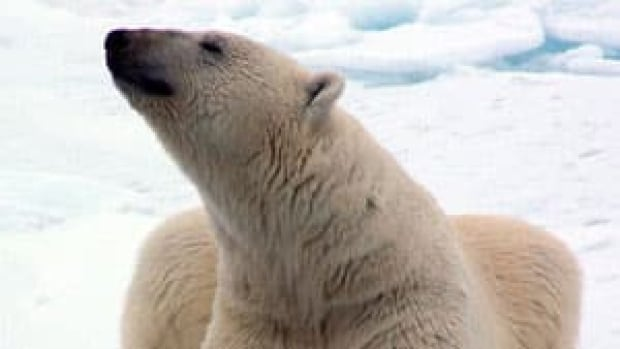 mi-final-polar-bear-regular-1455394