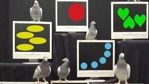 sm-300-pigeons-scarf1hr