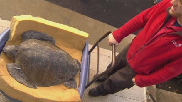 A Vancouver Aquarium staff member wheels the turtle into a lab where a necropsy was performed.