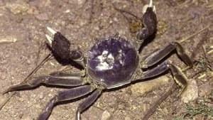 chinese-mitten-crab